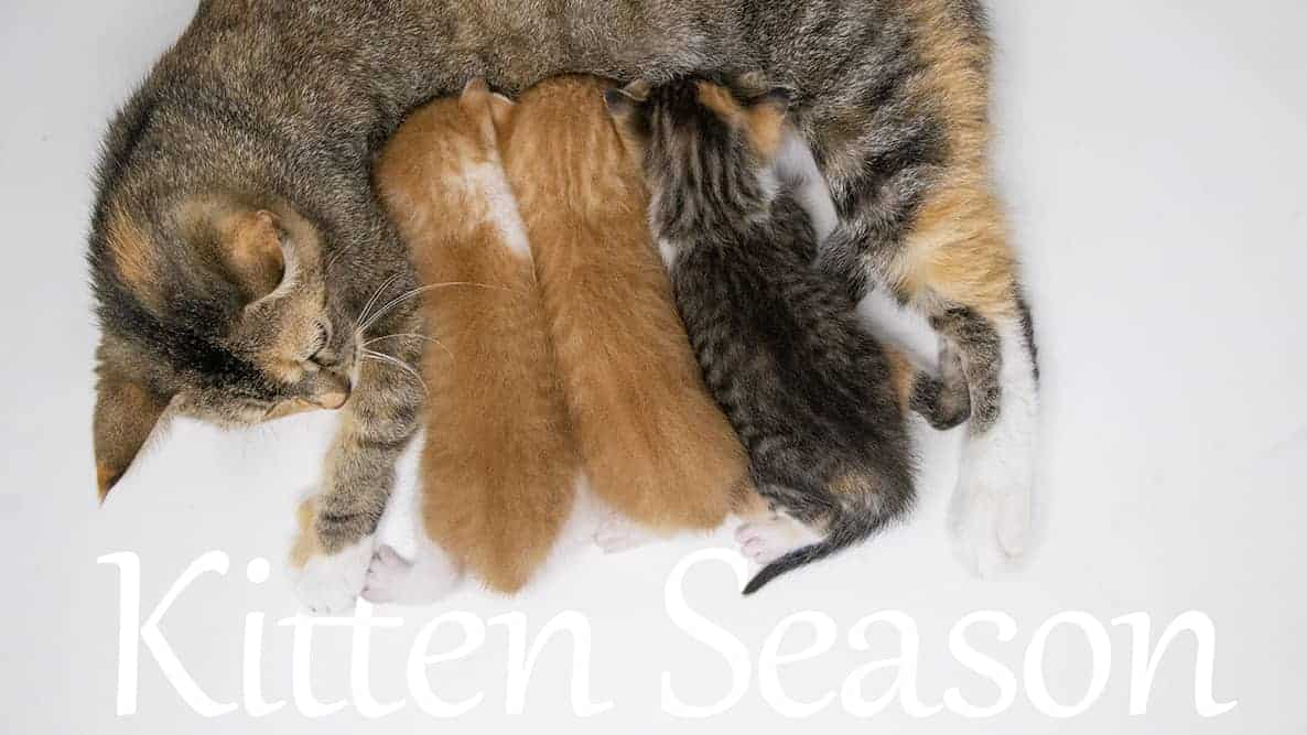 Ramona and Babies-KittenSeason