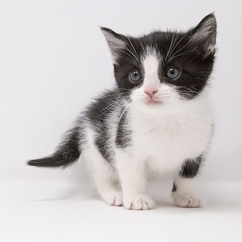 Testing for FIV in Kittens