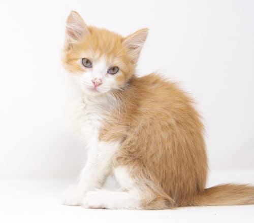 Merengue – Adopted