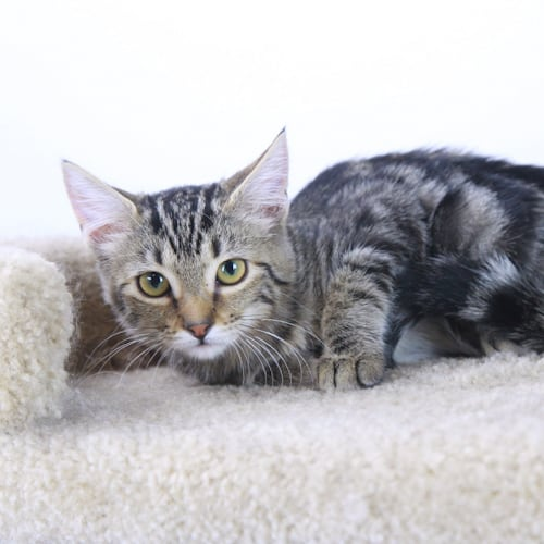 Lovington – Adopted