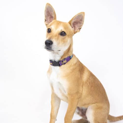 Dingo – Adopted